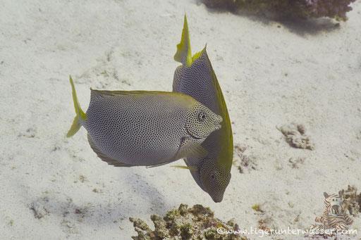 Tüpfel Kaninchenfisch / Stellate rabbitfish / Siganus stellatus laqueus / Fanadir Nord - Hurgada - Red Sea / Aquarius Diving Club