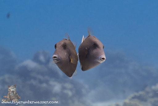Rotmeer Blaubrustdrücker - Bluethroat triggerfish - Sufflamen albicaudatus / Godda Abu Ramada East - Hurghada - Red Sea / Aquarius Diving Club