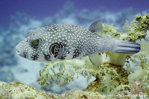 Weißflecken Kugelfisch / white-spotted puffer / Arothron hispidus / Small Giftun - Hurghada - Red Sea / Aquarius Diving Club
