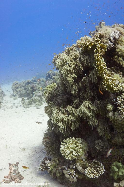 Godda Abu Ramada East/West / Hurghada - Red Sea / Aquarius Diving Club