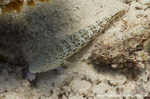 Schwarzfleck Sandbarsch ♂ / Speckled sandperch ♂ / Parapercis hexophthalma ♂ / Erg Talata - Hurghada - Red Sea / Aquarius Diving Club
