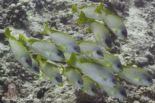 Schwarztupfen Süßlippe - Black-Spotted Rubberlips - Plectorhinchus gaterinus /Abu Ramada Süd - Hurghada - Red Sea / Aquarius Diving Club