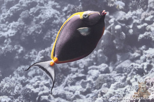 Indischer Gelbklingen Nasendocktor / Elegant unicornfish or Orange-spine unicorn / Naso elegans / Hurghada - Red Sea / Aquarius Diving Club