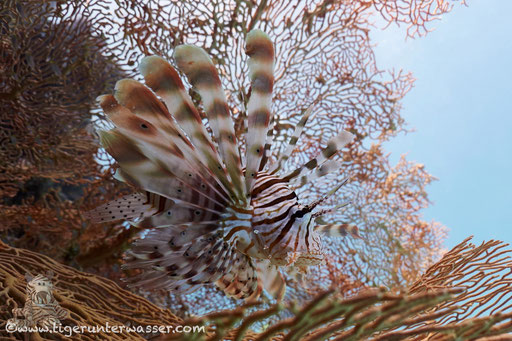 Indischer Rotfeuerfisch / common lionfish or devil firefish / Pteriois miles / Godda Abu Galawa - Hurghada - Red Sea / Aquarius Diving Club