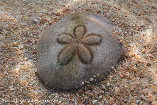 Sand Dollar - Clypeasteroida / Marriott - Hurghada - Red Sea / Aquarius Diving Club