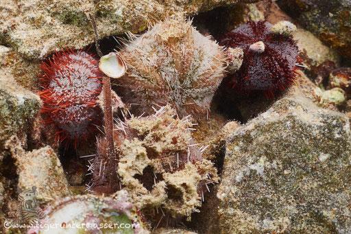 Pfaffenhut Seeigel - Collector Urchin - Tripneustes gratilla / Marriott Beach - Hurghada Red Sea / Aquarius Diving Club