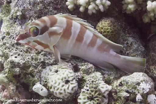 Baskenmützen Zackenbarsch / Blacktip grouper / Epinephelus fasciatus / Godda Abu Ramada East/West - Hurghda - Red Sea / Aquarius Diving Club