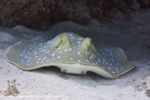 Blaupunkt Stechrochen / bluespotted ribbontail ray / Taeniura lymma / Errough - Hurghada - Red Sea / Aquarius Diving Club