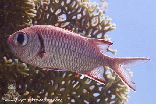 Weißsaum Soldatenfisch / Pinecone soldierfish / Myripristis murdjan / Erg Talata - Hurghada - Red Sea / Aquarius Diving Club