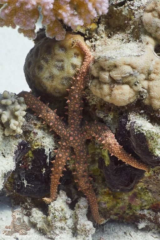 Dornen Seestern / Noduled sea star / Fromia nodosa / Godda Abu Galawa - Hurghada - Red Sea / Aquarius Diving Club