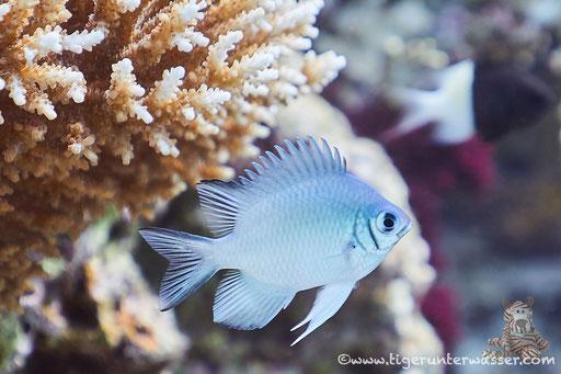 Weißbauch Demoiselle / Pale Damselfish / Amblyglyphidodon indicus / Ben El Gebal - Hurghada - Red Sea / Aquarius Diving Club