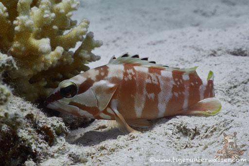 Baskenmützen Zackenbarsch / Blacktip grouper / Epinephelus fasciatus / Fanus West - Hurghda - Red Sea / Aquarius Diving Club