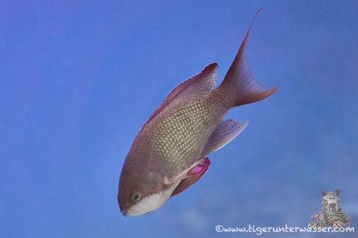 Juwelen Fahnenbarsch♂ / sea goldie - lyretail coralfish - lyretail anthias - scalefin anthia / Pseadanthias squamipinnis / Banana Reef - Hurghada -Red Sea / Aquarius Diving Club