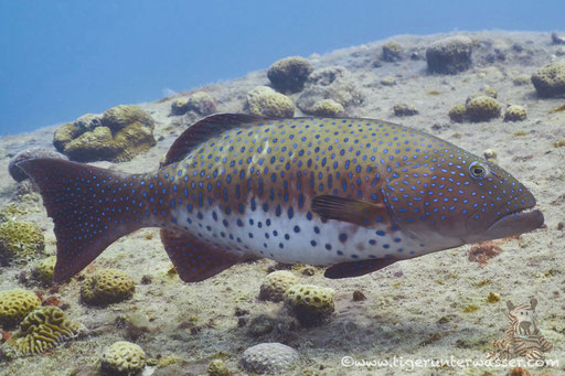 Rotmeer Forellenbarsch / Roving Coralgrouper / Plectropomus pessuliferus / El Mina - Hurghada - Red Sea / Aquarius Diving