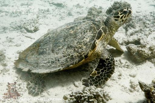 Echte Karettschildkröte - hawksbill sea turtle / Eretmochelys imbricata / Abu Ramada Süd - Hurghada - Red Sea / Aquarius Diving Club