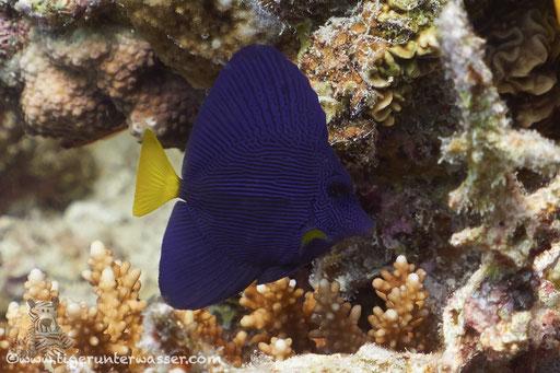 Blauer Segelflosser / Purple Tang / Zebrasoma xanthurum / Godda Abu Galawa - Hurghada - Red Sea / Aquarius Diving Club