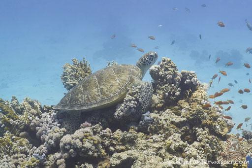 Grüne Schildkröte / Green Sea Turtle / Chelonia mydas / Disha - Makadi Bay - Red Sea / Aquarius Diving Club
