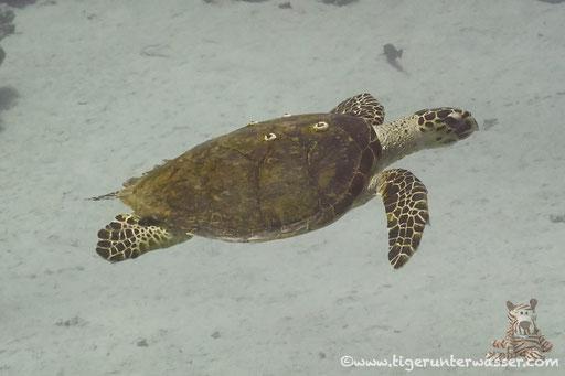 Echte Karettschildkröte / hawksbill sea turtle / Eretmochelys imbricata / Disha Malagk - Makadi Bay - Red Sea / Aquarius Diving Club