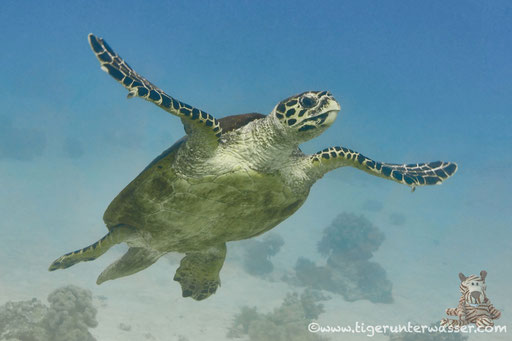 Echte Karettschildkröte / hawksbill sea turtle / Eretmochelys imbricata / Godda Abu Galawa - Hurghada - Red Sea / Aquarius Diving Club