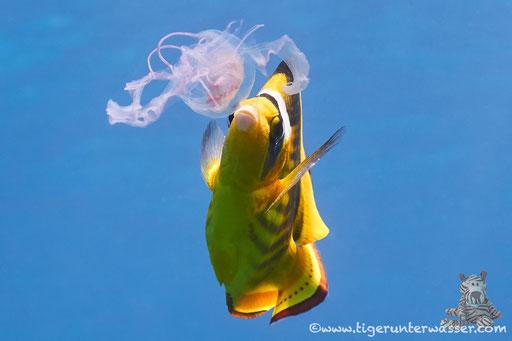 Tabak Falterfisch / Red Sea Raccoon Butterflyfish / Chaetodon fasciatus / Shaab Sabina - Hurghada - Red Sea / Aquarius Diving Club