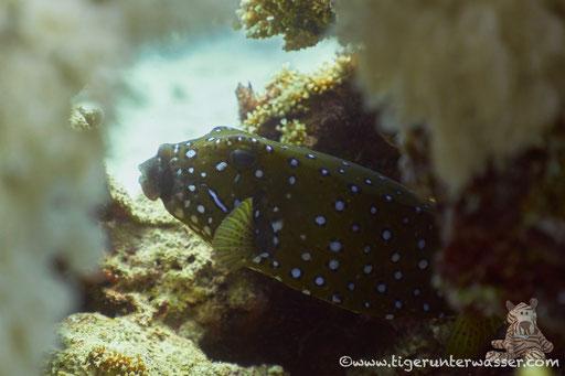 Gelbbrauner Kofferfisch ♀ / yellow boxfish ♀ / Ostracion cubicus ♀ / Godda Abu Ramada East - Hurghada - Red Sea / Aquarius Diving Club