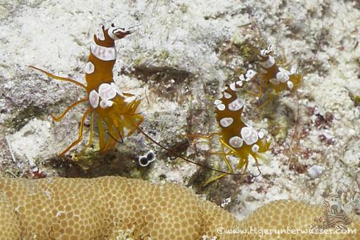 Hohlkreuzgarnele / squat shrimp or sexy shrimp / Thor amboinensis /- Hurghada - Red Sea / Aquarius Diving Club