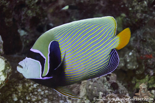 Imperator Kaiserfisch / emperor angelfish / Pomacanthus imperator / Hurghada - Red Sea / Aquarius Diving Club