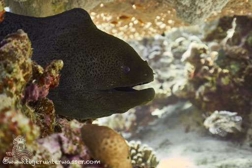 Riesenmuräne / giant moray / Gymnothrax javanicus / Fanus East  / Hurghada - Red Sea / Aquarius Diving Club