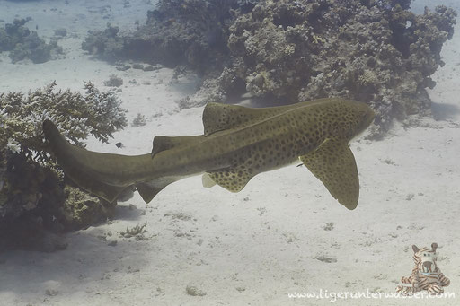 Zebrahai / Zebra Shark / Stegostoma fasciatum / Godda Abu Ramada East - Hurghada - Red Sea / Aquarius Diving Club
