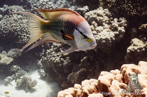 Stülpmaul Lippfisch / sling-jaw wrasse / Epibulus insidiator / Godda Abu Ramada East/West - Hurghada - Red Sea / Aquarius Diving Club