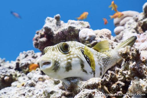 Weißflecken Kugelfisch / white-spotted puffer / Arothron hispidus / Abu Ramada Süd - Hurghada - Red Sea / Aquarius Diving Club