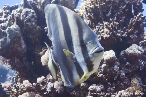Rundkopf Fledermausfisch / Orbicular batfish / Platax orbicularis / Disha - Hurghada - Red Sea / Aquarius Diving Club