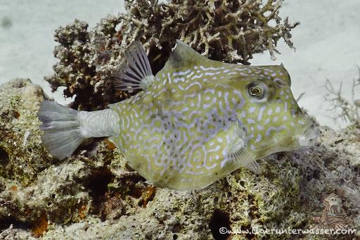 Pyramiden Kofferfisch / humpback turretfish / Tetrasomus gibbosus / Ben El Gebal - Hurghada - Red Sea / Aquarius Diving Club