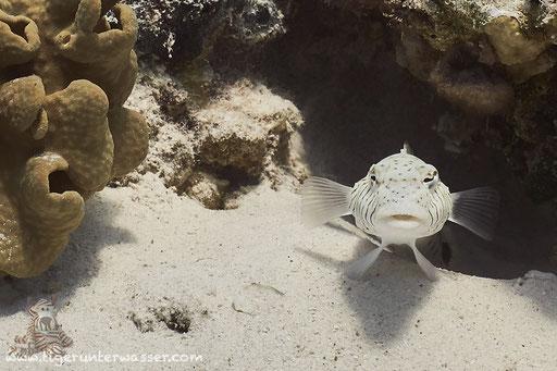 Schwarzfleck Sandbarsch ♀ / Speckled sandperch ♀ / Parapercis hexophthalma ♀ / Ben El Gebal - Hurghada - Red Sea / Aquarius Diving Club