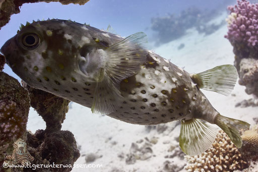 Gelbflecken Igelfisch / Spotbase burrfish / Cyclichthys spilostylus / Disha - Makadi Bay - Red Sea / Aquarius Diving Club