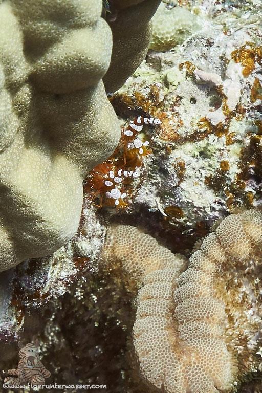 Hohlkreuzgarnele / squat shrimp or sexy shrimp / Thor amboinensis / Erg Talata - Hurghada - Red Sea / Aquarius Diving Club