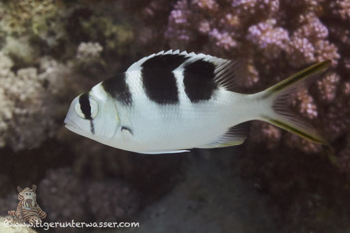 Großaugen Strassenkehrer juv. / bigeye emperor / Monotaxis grandoculis / Errough - Hurghada - Red Sea / Aquarius Diving Club