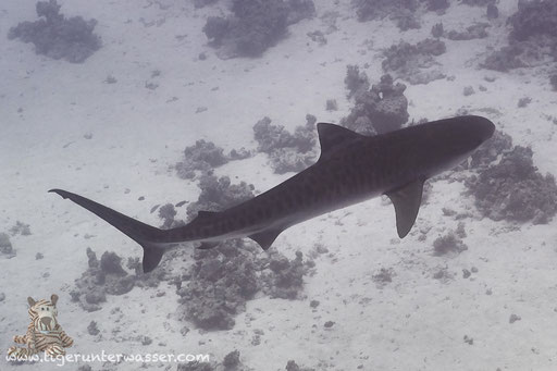 Tigerhai - Tiger Shark - Galeocerdo cuvier / Ben El Gebal - Hurghada - Red Sea / Aquarius Diving Club