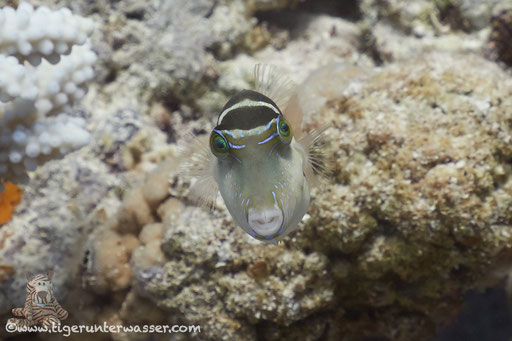 Kronen Spitzkopfkugelfisch / Crowned puffer /  Canthigaster coronata / Abu Ramada Süd - Hurghada - Red Sea / Aquarius Diving Club