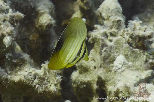 Indischer Segelflosser juv. / Sailfin tang juv. / Zebrasoma desjardinii juv. / Shaab Sabina - Hurghada - Red Sea / Aquarius Diving Club