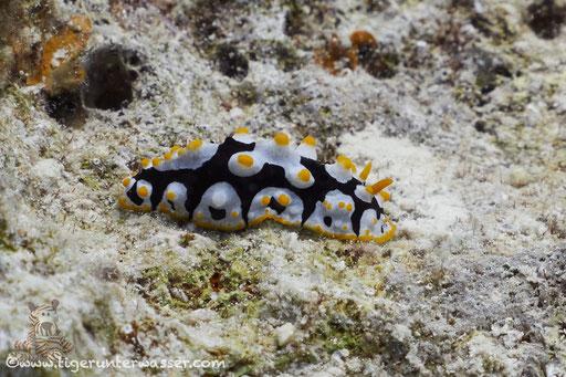 Rüppels Warzenschnecke / varicose wart slug / Fryeria rueppellii / Erg Estha - Hurghada - Red Sea / Aquarius Diving Club