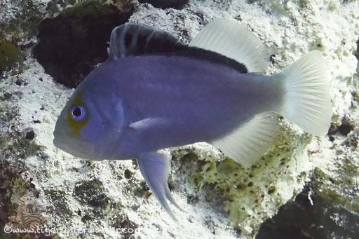 Rotmeer Seifenbarsch / Yellowfin soapfish / Diploprion drachi / Abu Ramada Süd - Hurghada - Red Sea / Aquarius Diving Club