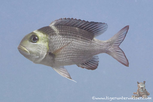 Großaugen Strassenkehrer / bigeye emperor / Monotaxis grandoculis / - Hurghada - Red Sea / Aquarius Diving Club