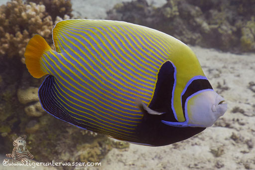 Imperator Kaiserfisch / emperor angelfish / Pomacanthus imperator / Godda Abu Ramada East/West - Hurghada - Red Sea / Aquarius Diving Club