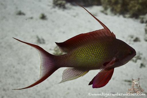 Juwelen Fahnenbarsch♂ / sea goldie - lyretail coralfish - lyretail anthias - scalefin anthia /Pseudanthias squamipinnis / Carlees Reef - Hurghada - Red Sea  / Aquarius Diving Club