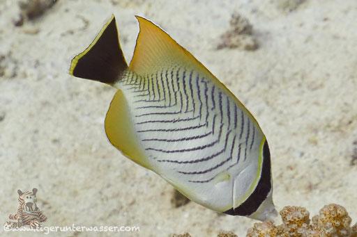 Sparren-Falterfisch / Chevron Butterflyfish / Chaetodon trifascialis / Godda Abu Ramada East - Hurghada - Red Sea / Aquarius Diving Club