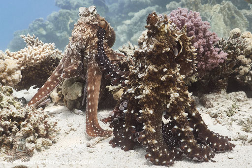 Roter Krake / common reef octopus or big blue octopus / Octopus cyaneus / Ben El Gebal - Hurghada - Red Sea / Aquarius Diving Club
