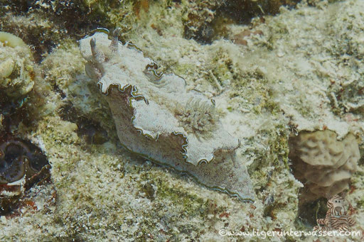 Braunrand Sternschnecke / Glossodoris cincta / Ben El Gebal - Hurghada - Red Sea / Aquarius Diving Club