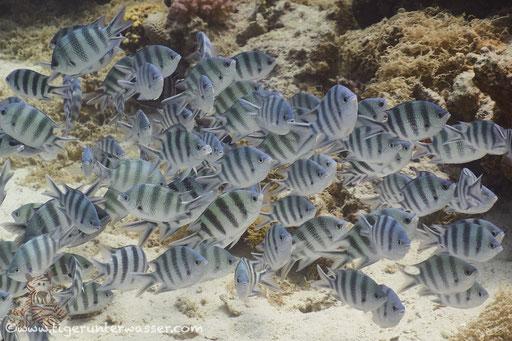 Scherenschwanz-Sergeant / Scissortail sergeant / Abudefduf sexfasciatus / Fanadir Nord - Hurghada - Red Sea / Aquarius Diving Club