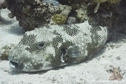 Riesen Kugelfisch / starry puffer / Arothron stellatus / Fanus West - Hurghada - Red Sea / Aquarius Diving Club